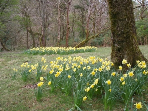 Daffodils in Ireland